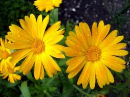 после, дождя, цветы, календула