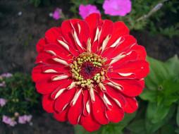 цветы, цинния