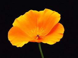 обои для рабочего стола 1024x768 цветы, эшшольция