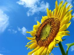 подсолнух, на, фоне, неба, цветы, подсолнухи