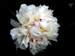 обои для рабочего стола 1024x768 цветы, пионы