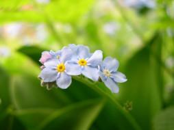цветы, незабудки