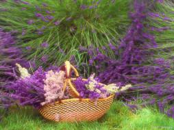 цветы, лаванда