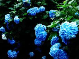 обои для рабочего стола 1024x768 цветы, гортензия