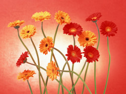 цветы, герберы