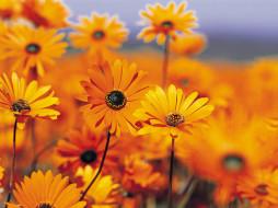 цветы, рудбекия