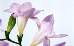 обои для рабочего стола 1920x1200 цветы, фрезия
