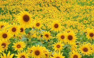 цветы, подсолнухи
