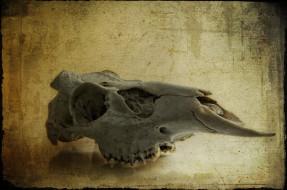 Череп оленя обои для рабочего стола 3268x2164 Череп, оленя, разное, кости, рентген, глазницы, череп, зубы