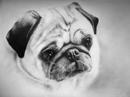 рисованные, животные, собаки, мопс