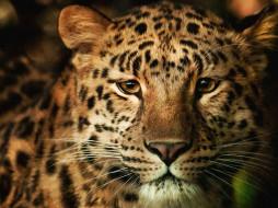 обои для рабочего стола 2560x1920 животные, леопарды, морда