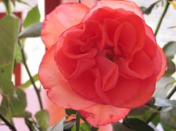 обои для рабочего стола 2816x2112 цветы, розы, алый, нежный