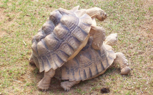 обои для рабочего стола 1920x1200 животные, Черепахи, черепахи, любовь