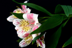 перуанская лилия