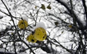природа, плоды, снег, ветки, яблока