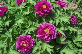 обои для рабочего стола 2560x1706 цветы, пионы, briar