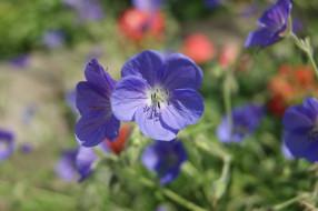 обои для рабочего стола 4592x3056 цветы, герань, голубые, зеленый, фон