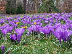 обои для рабочего стола 1600x1200 цветы, крокусы, желтый, сиреневый, весна