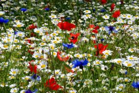 Стола цветы луговые полевые цветы