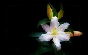 Рабочего стола цветы лилии лилейники