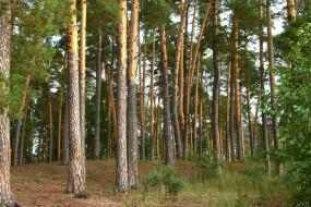 нижегородский, край, природа, лес, сосны