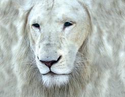 Животные Львы, белый, царь,...
