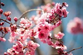 обои для рабочего стола 2048x1360 цветы, цветущие, деревья, кустарники, ветки, цветение, слива, blireana, plum