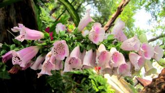 цветы, дигиталис, наперстянка, розовый