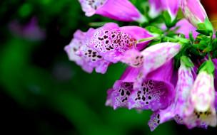 цветы, дигиталис, наперстянка, пестрый