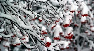 снег, ветки, рябина