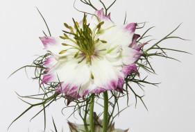цветы нигелла фото