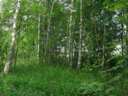 Природа Россия, лес, лето, деревья