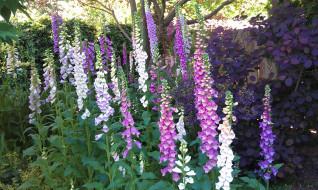 цветы, дигиталис, наперстянка, foxgloves, сад