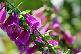 цветы, дигиталис, наперстянка, макро