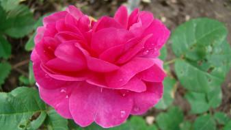 Роза обои для рабочего стола 1920x1080 роза, цветы, розы