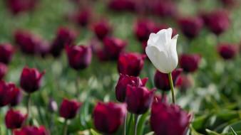 обои для рабочего стола 1920x1080 цветы, тюльпаны, тюлпаны