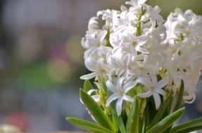 обои для рабочего стола 2048x1356 цветы, гиацинты, макро