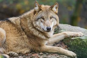 обои для рабочего стола 3000x2000 животные, волки,  койоты,  шакалы, портрет