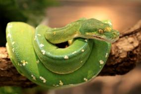 Змеи питоны кобры обои для рабочего