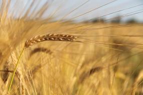обои для рабочего стола 2700x1800 природа, макро, пшеница