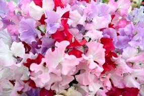 Цветной горошек цветы фото