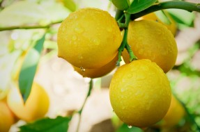 природа, плоды, росинки, капельки, плод, лимон, листья, ветки