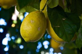 природа, плоды, лимон, листья, ветки