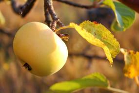 природа, плоды, яблоко