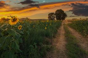 природа, дороги, вечер, деревья, подсолнухи, поля