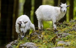 обои для рабочего стола 2600x1665 животные, козы, малыши