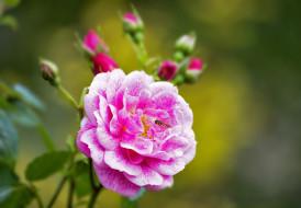 �����, ����, leaves, blossoms, ��������, �����, ����, petals, ��������, rose, bud, ������