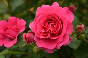 �����, ����, rose, ����, ��������, ������, �����, ��������, blossoms, leaves, petals, bud