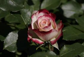 �����, ����, ����, blossoms, leaves, petals, bud, rose, ��������, ������, ��������, �����