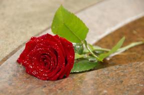 �����, ����, leaves, petals, ����, bud, ��������, rose, ������, ��������, blossoms, �����